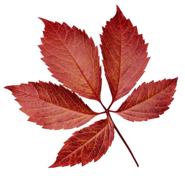 Jesienny liść dzikich winogron na białym tle. czerwone liście.