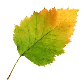 Jesienny liść głogu na białym tle na białej powierzchni