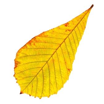 Jesienny liść kasztanowca na białym tle
