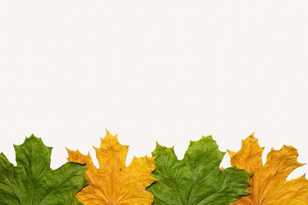 Jesienny liść klonu na białym tle na białym tle żółty zielony