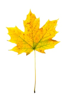 Jesienny liść klonu na białym tle z bliska