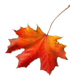 Jesienny liść klonu na białym tle