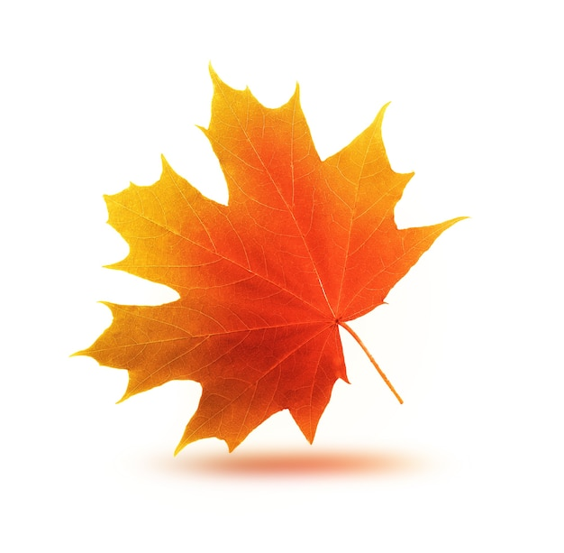 Jesienny liść klonu na jasnym tle
