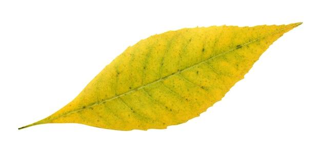 Jesienny liść na białym tle. opadające żółte liście.