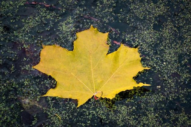 Jesienny liść na wodzie. żółty liść klonu w bagnie. kolory jesieni. jesień. żółty liść klonu w bagnie.
