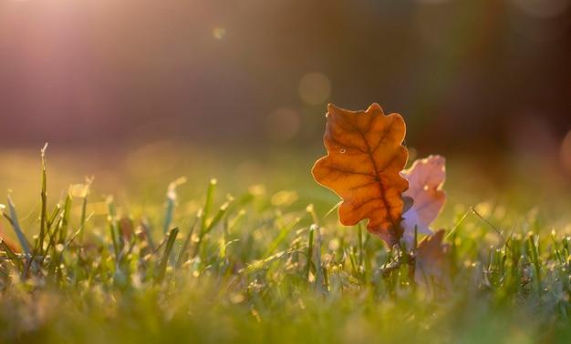 Jesienny liść na zielonej trawie, makro z bliska.