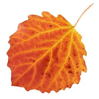 Jesienny liść osiki na białym tle na białej ścianie. jeden czerwony liść.