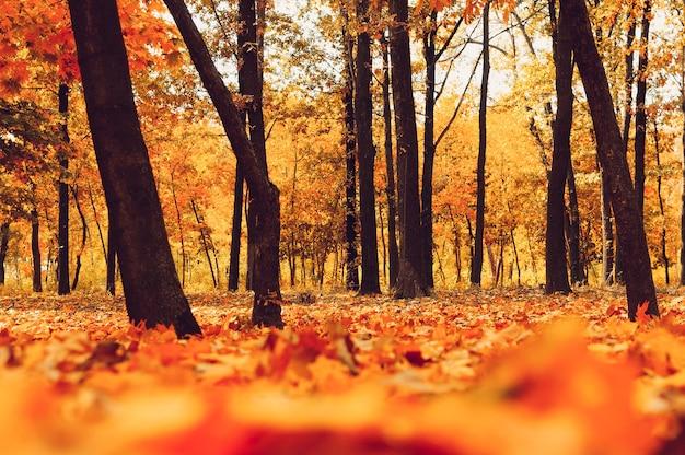 Jesienny park drzew i opadłych liści jesienią na ziemi w parku w słoneczny dzień października.