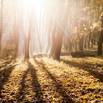 Jesienny poranek mglisty w lesie. cienie i majestatyczne światło słoneczne w jesienny dzień