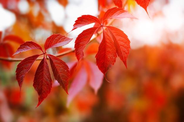 Jesienny projekt tła z kolorowymi czerwonymi i żółtymi liśćmi powój z niewyraźnym promieniem słonecznym