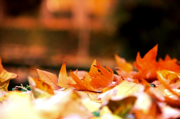 Jesienny sztandar z czerwonawymi liśćmi