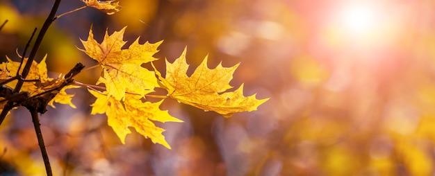 Jesienny widok z żółtymi liśćmi klonu na drzewie w słoneczną pogodę w ciepłych jesiennych odcieniach, panorama