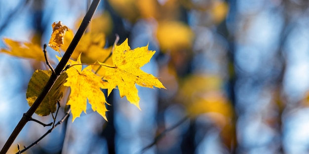 Jesienny widok z żółtymi liśćmi klonu na tle drzew, przez które widać błękitne niebo