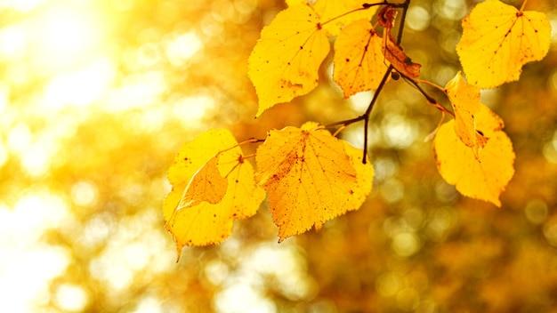 Jesienny widok z żółtymi liśćmi na drzewie przy słonecznej pogodzie