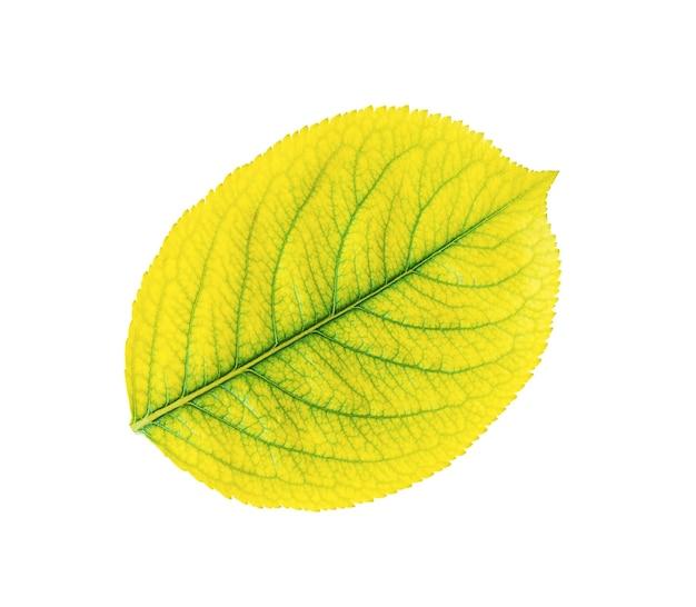 Jesienny żółty liść na białym tle