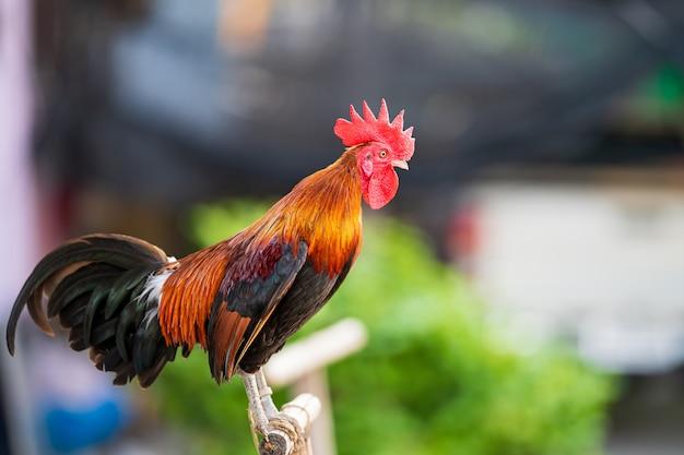 Jest to rodzaj kurczaka hodowanego do walki w naszym kraju. czerwony czubaty tajski kurczak walczący kogut