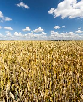 Jeszcze nie w pełni dojrzałe pole pszenicy z dużymi zbiorami w lecie, słoneczna pogoda z błękitnym niebem i chmurami