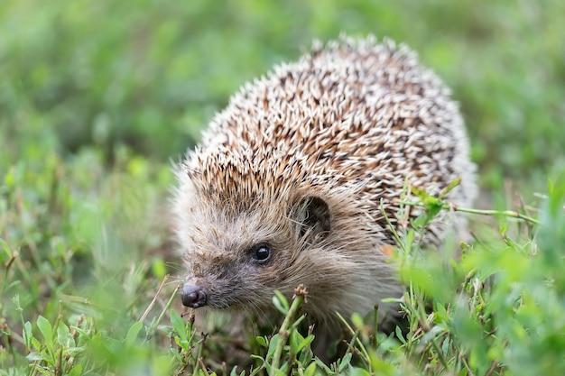 Jeż (nazwa naukowa: erinaceus europaeus) zbliżenie dzikiego, rodzimego jeża europejskiego, zwróconego w prawo w naturalnym środowisku ogrodowym na trawniku z zieloną trawą. poziomy. .
