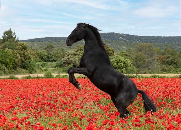 Jeżdżąca dziewczyna trenuje swojego czarnego konia