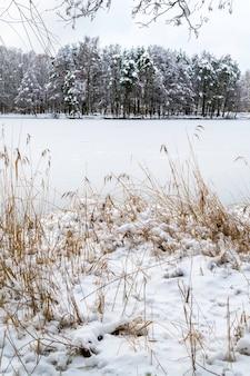 Jeziora pokryte lodem. zimowy krajobraz na łotwie. trzciny na pierwszym planie i las na drugim brzegu