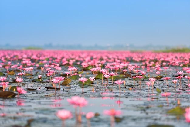 Jeziorna rzeka z czerwonymi lotosowymi lelui pola menchiami kwitnie na wodnym natura krajobrazie w ranku punkcie zwrotnym w udon thani tajlandia