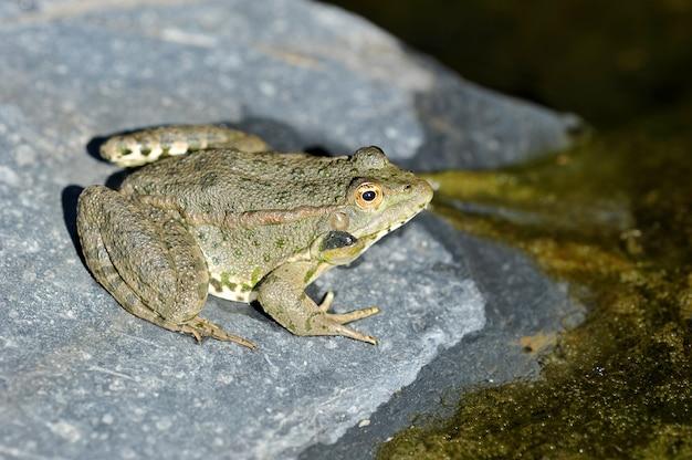 Jeziorna żaba wygrzewa się na skale