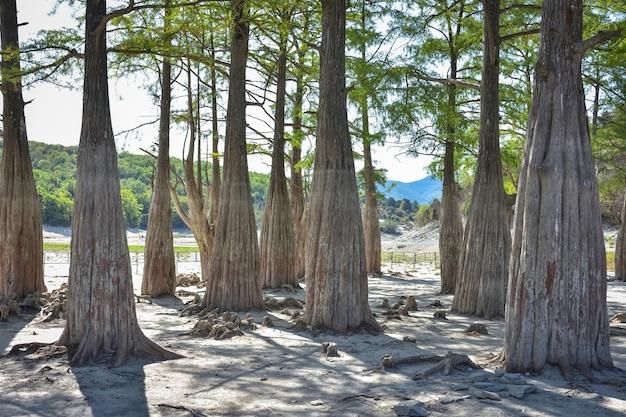 Jezioro cypress w sukko. atrakcje anapy. zielone jezioro. natura rosji. suche jezioro. cyprysy w suchym jeziorze. zmiana klimatu.