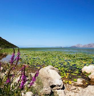 Jezioro (czarnogóra) - jezioro szkoderskie położone w czarnogórze w okresie letnim