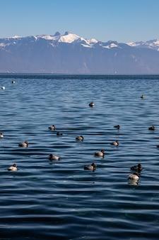 Jezioro genewskie i alpy widziane z lozanny w szwajcarii