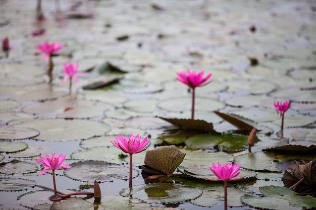 Jezioro red lotus niewidoczne w udon thani w tajlandii