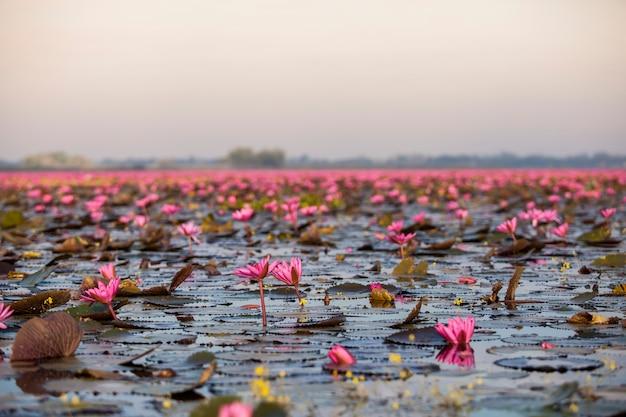 Jezioro różowego lotosu