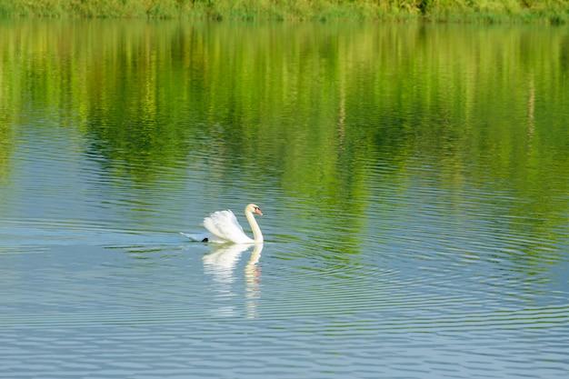 Jezioro w naturze z białymi łabędziami