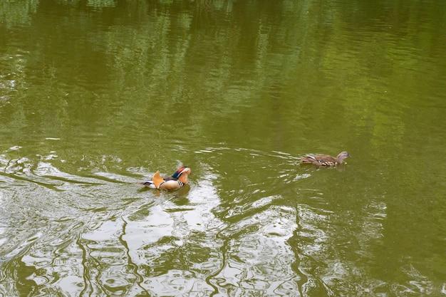 Jezioro w parku volkspark friedrichshain w berlinie, kaczki pływające w jeziorze