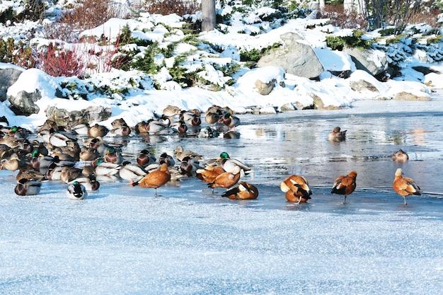 Jezioro z kaczkami w pięknym zimowym parku