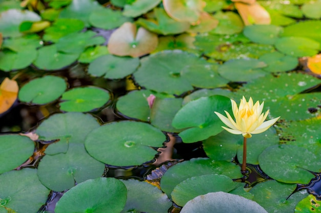 Jezioro z kwiatami lilii wodnej na niebieskiej wodzie.
