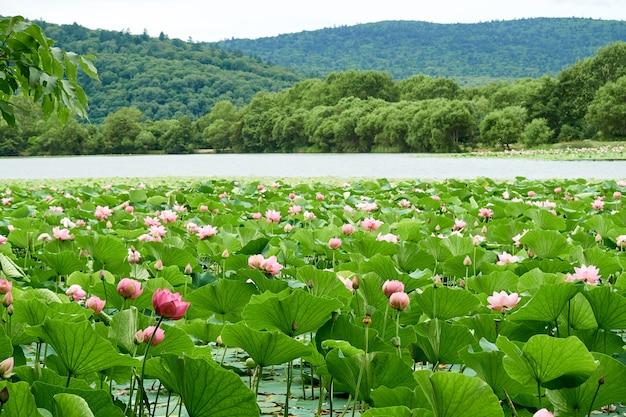 Jezioro z kwitnącymi różowymi lotosami. wspaniały krajobraz.