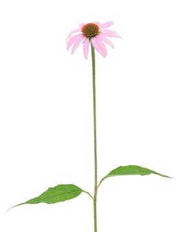 Jeżówka purpurowa jeżówki