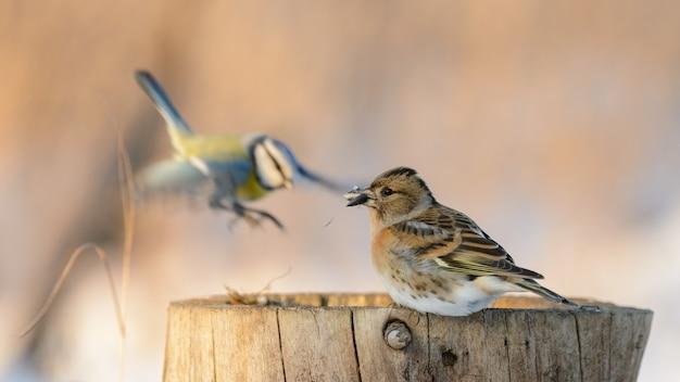 Jeżyna, fringilla montifringilla. ptak siedzi na pniu z nasieniem w dziobie.