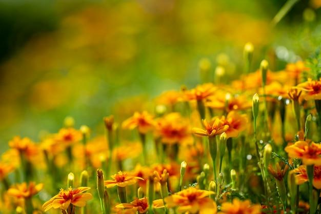 Jeżyny aksamitki w jesiennym ogrodzie.