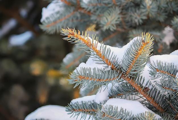 Jodła srebrna gałąź w śniegu. pokryte śniegiem świerk w winter park.