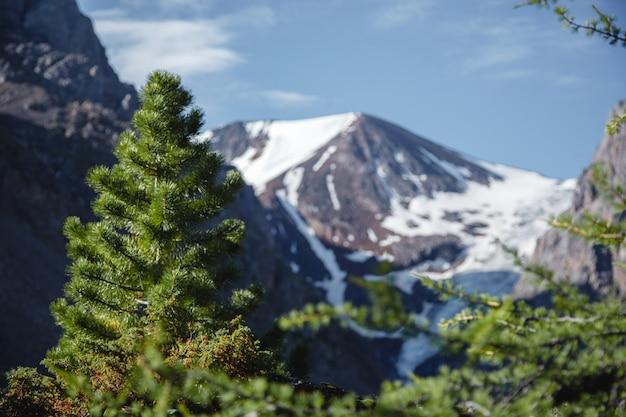 Jodła zbliżenie. malownicze góry ałtaj w lecie.