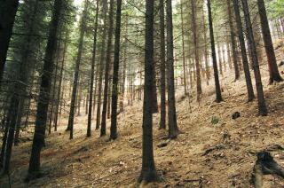 Jodły las