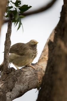Jungle babbler bird na oddziale dzikiej przyrody
