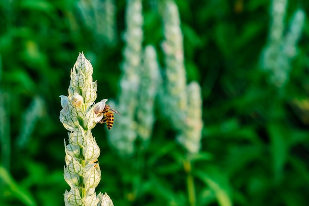 Justicia betonica (white shrim plant) z pszczołą