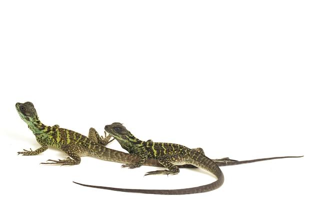 Juvenile sailfin dragon lizard