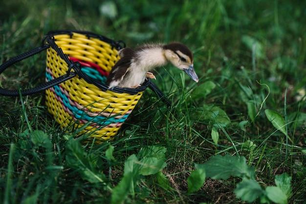 Kaczątko wychodzi z żółtego kosz na zielonej trawie