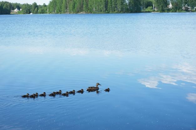 Kaczka i kaczątka pływają po malowniczym jeziorze, niebo odbija się w wodzie