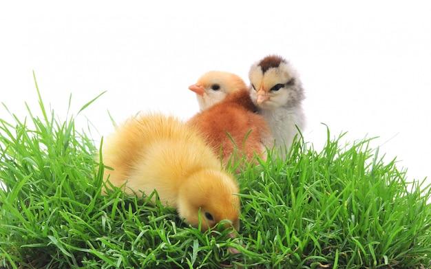 Kaczka i pisklęta w trawie