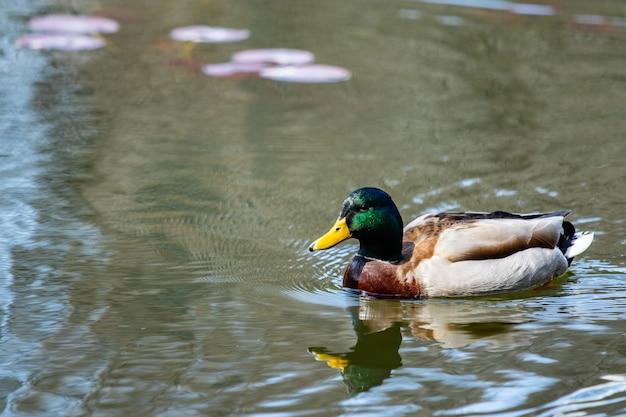 Kaczka krzyżówka pływanie na rzece.