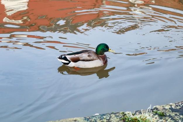 Kaczka krzyżówka pływanie w jeziorze w ciągu dnia